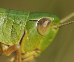 leaf(0.0), leafhopper(0.0), leaf beetle(0.0), plant stem(0.0), animal(1.0), yellow(1.0), invertebrate(1.0), insect(1.0), macro photography(1.0), green(1.0), fauna(1.0), close-up(1.0), true bugs(1.0),
