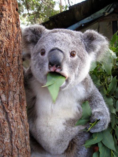 foto graciosa de koala sorprendido
