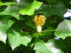 22. Juni 2015 - 7:59 - Der Tulpenbaum (Liriodendron tulipifera) ist eine in Nordamerika heimische Baumart der aus nur zwei Arten bestehenden Gattung Tulpenbäume aus der Familie der Magnoliengewächse (Magnoliaceae).Die Tulpenbaumallee in Memmingen Ferthofen in Oberschwaben ist ein Naturdenkmal. Der alte Teil der Baumallee wurde von Stadtkanzleidirektor und Herr über Schloss Illerfeld, Friedrich von Lupin, im Jahre 1828  gepflanzt.  Nachfahre, Freiherr Reinhold von Lupin, pflanzte 1980 – 1983 dreißig weitere Tulpenbäume.  Ein reizvoller Kontrast zwischen den neu gepflanzten und den knorrigen altenTulpenbäumen.Oberschwaben, das ist Natur pur in einer herrlichen Landschaft. Als Oberschwaben wird die Landschaft zwischen dem Südrand der Schwäbischen Alb mit der Donau, dem Bodensee und dem Lech bezeichnet. (Die Bayern sehen lieber die Iller als Ostgrenze Oberschwabens) Das Allgäu ist der südliche Teil Oberschwabens, das Alpenvorland. In Oberschwaben gibt es fast 2.300 offene Seen und Weiher.