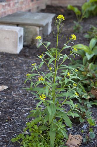 Yellow Flower Stalk