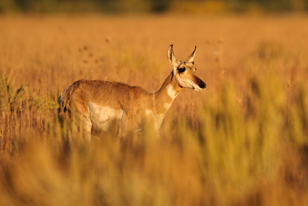 A female pronghorn walks in a meadow at sunset
