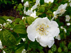 rosa wichuraiana, shrub, flower, plant, rosa rubiginosa, flora, rosa multiflora, rosa acicularis, rosa pimpinellifolia,