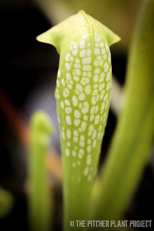 Sarracenia minor - AF