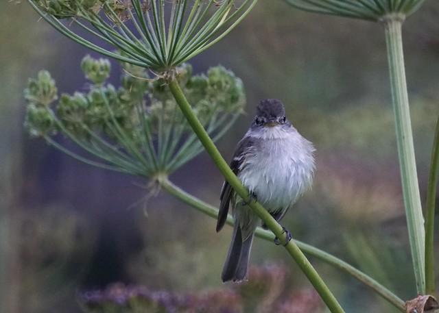 Header of alder flycatcher