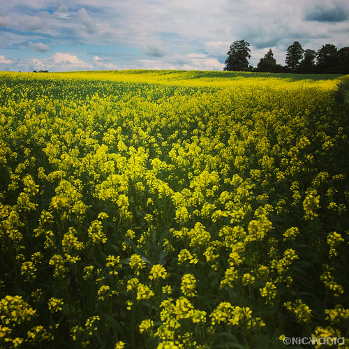 trees color field denmark flora europe blossoms mustard outdoorphotography iphoneography iphone6
