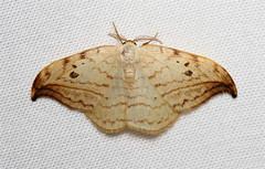 Drepana arcuata (Arched Hooktip Moth) Hodges # 6251