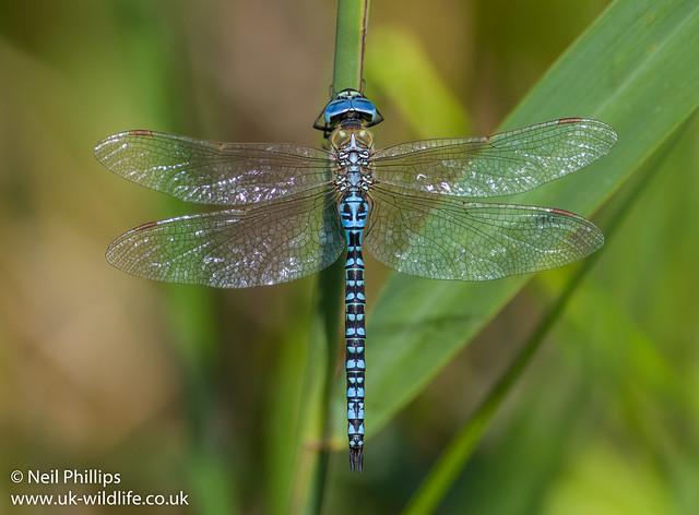 Southern migrant hawker-2