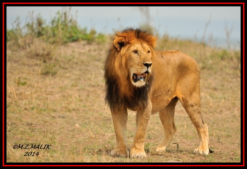 KING OF THE JUNGLE (Panthera leo)....MASAI MARA......SEPT,2014