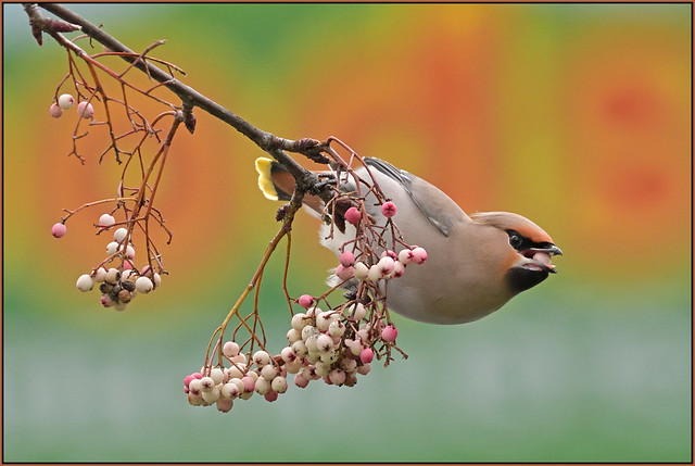 Waxwing (image 3 of 3)
