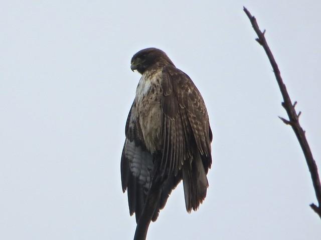 hawk takes a break from the rain
