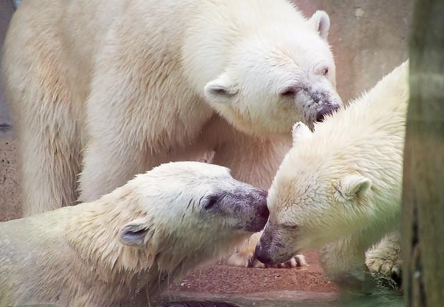 Hellabrunner Eisbärfamilie