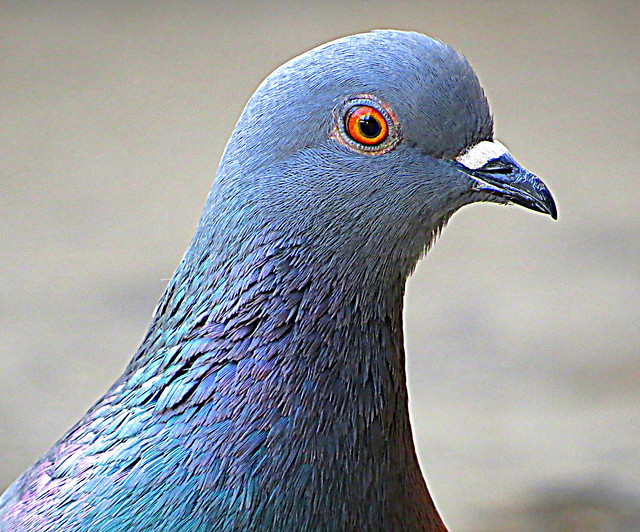 Pigeon face