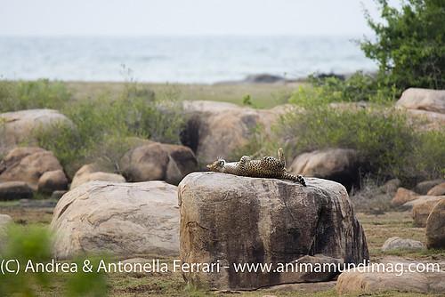 reefwondersdotnet posted a photo:Sri Lankan leopard Panthera pardus kotiya, Yala NP, Sri Lanka