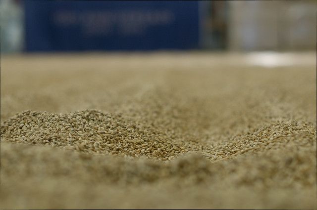 Malting barley at Kilchoman distillery