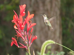 """Ruby-throated Hummingbird""Trochilidae Archilochus colubris"