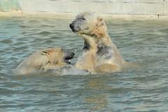 Eisbären Rocky und Qannik  in der Monde Sauvage Aywaille