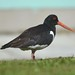 Eurasian Oystercatcher Kirkwall Orkney tagged