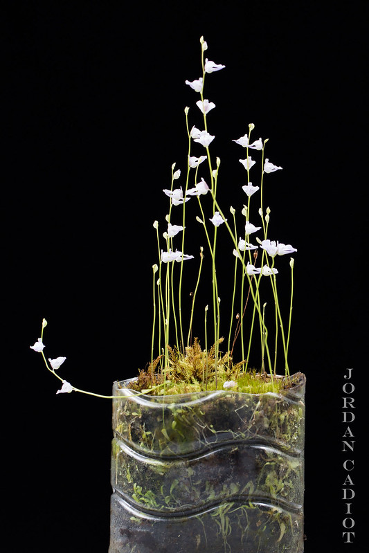 Plantes Phyliok  19701334345_84b7179393_c