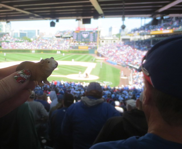 Guinea pig at the Cubs game