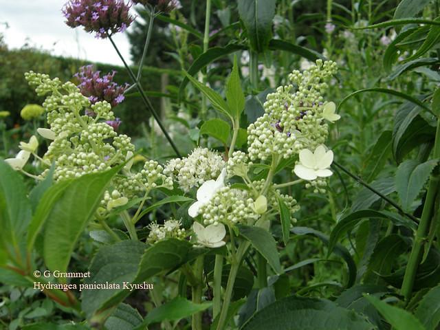 hydrangea-paniculata