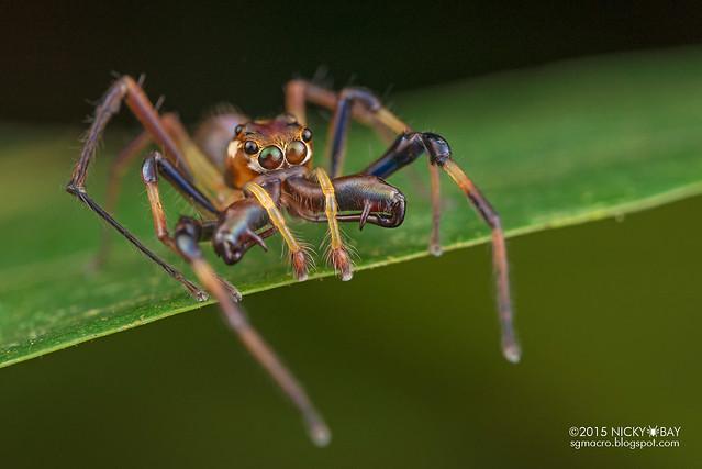 Big-jawed jumping spider (Parabathippus sp.) - DSC_4935