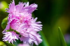 Frilly pink carnation