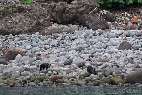 Two wild brown bear cubs / 野生のヒグマ2頭