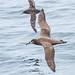 Black-footed Albatross & Sooty Shearwater by Ilya Povalyaev