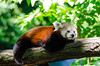 Red Panda by Mathias Appel