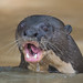 Giant River Otter (Tim Melling)