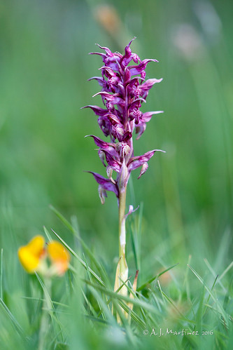 Orchis fragans