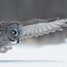 Chouette lapone / Great Gray Owl by richard_morel