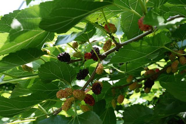 日, 2015-06-07 13:58 - Mulberry