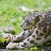 Samira stretching by Tambako the Jaguar