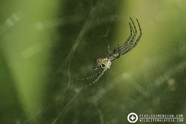 Four-Humped Tent Spider- Cyrtophora cicatrosa ♀
