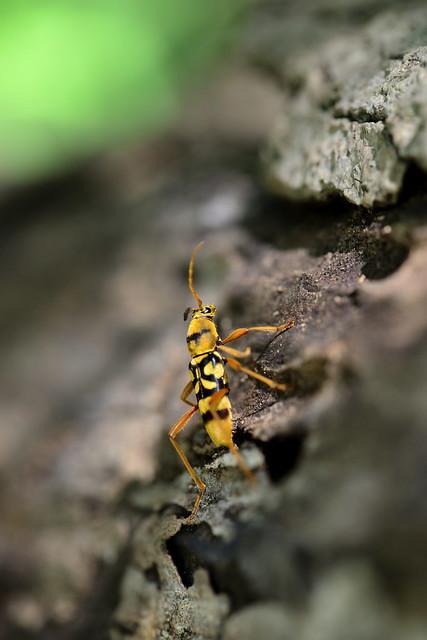 ヨツスジトラカミキリ [Chlorophorus quiquefasciatus]...