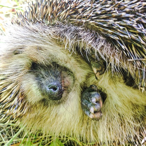 hedgehog 2015