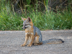 animal, mammal, jackal, grey fox, fauna, kit fox, wildlife,