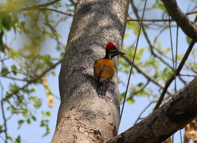 Black Rumped Woodpecker