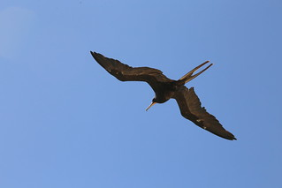 Magnificent Frigate in flight, Galapagos