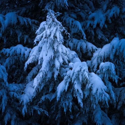 trees january snowcovered oregon winter dawn fallingsnow presunrise patterns bluelight cedar snowfall tree beaverton unitedstates us