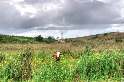 cow trinidadandtobago hdr scenery