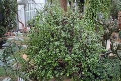Portulaceae