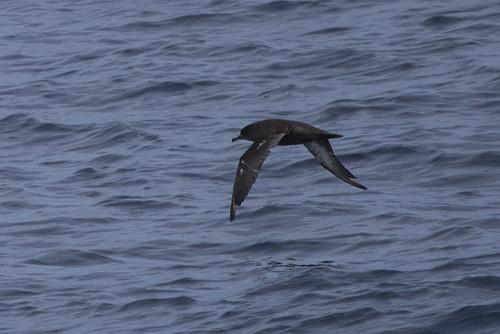 Catalina Island: Sooty Shearwater