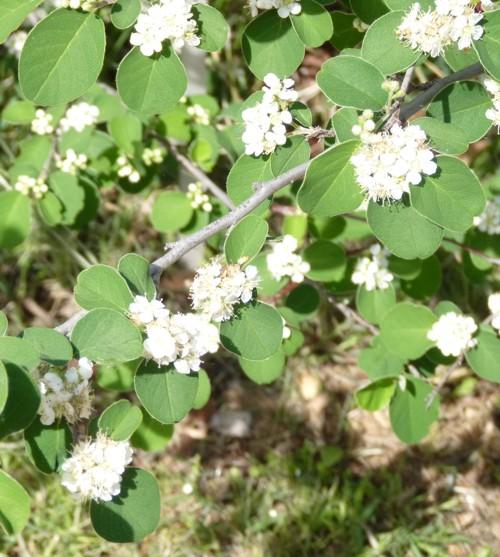 Cotoneaster tomentosus 19171796123_71ae606f4a_o
