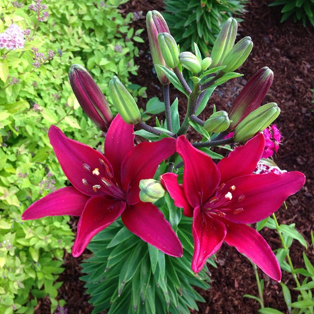 Burgundy lilies are blooming.