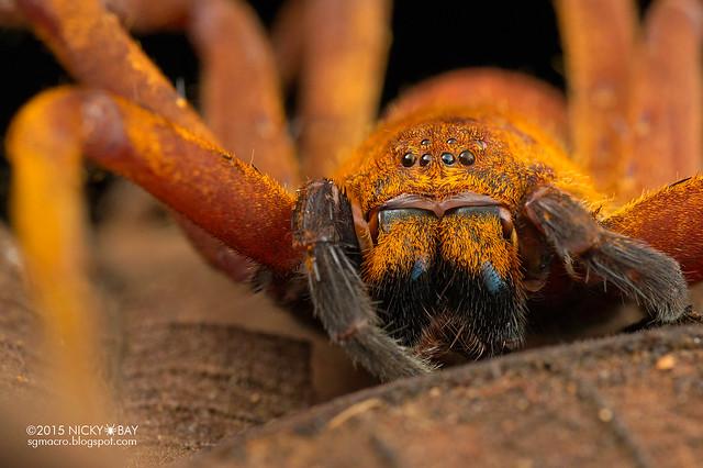Huntsman spider (Heteropoda sp.) - DSC_4502