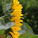 Sunflower in profile by Monceau