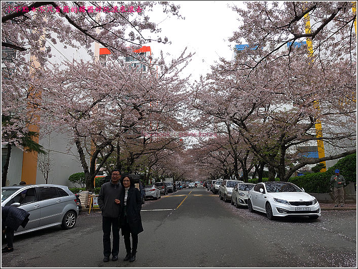 釜山南川洞櫻花隧道 (56).JPG