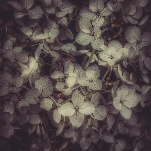 Always be on the lookout for the presence of wonder. -- E.B. White #yyc #hydrangea #whitehydrangea #flowers #summer #summer #yycsummer #calgarysummer #outwalking #beforetherain #flowergarden #qotd #almostbw #monochrome #instaflower